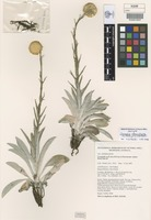 Isotype of Craspedia adenophora K.L.McDougall & N.G.Walsh [family ASTERACEAE]