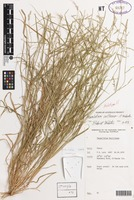 Holotype of Paspalidium reflexum R.D.Webster [family POACEAE]