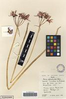 Filed as Nerine appendiculata Baker [family AMARYLLIDACEAE]