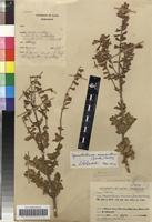 Filed as Syncolostemon macranthus (Gürke) M.Ashby [family LAMIACEAE]