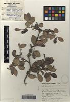 Filed as Carissa [family APOCYNACEAE]
