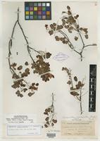 Isotype of Cassia enneandra Brandegee [family CAESALPINIACEAE]