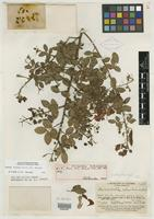 Holotype of Grimaldia colombiana Britton & Rose [family CAESALPINIACEAE]