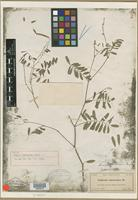 Holotype of Cracca curtissii Small [family FABACEAE]