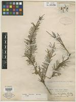 Holotype of Rusbya taxifolia Britton [family ERICACEAE]
