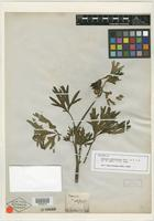 Isotype of Paeonia californica Nutt. [family PAEONIACEAE]