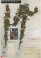 Holotype of Schinus cabrerae F. A. Barkley [family ANACARDIACEAE]