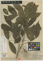 Isotype of Guarea schomburgkii C. DC. [family MELIACEAE]
