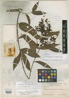 Isotype of Tetrapterys reticulata Small [family MALPIGHIACEAE]