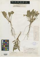 Isotype of Viola erectifolia A. Nelson [family VIOLACEAE]
