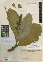 Isotype of Palicourea rigida f. angustior Chodat & Hassl. [family RUBIACEAE]