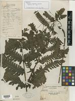 Isotype of Tectaria calcicola Copel. [family PTERIDOPHYTE]