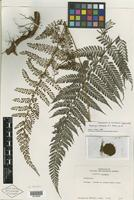 Isotype of Polybotrya attenuata R. C. Moran [family PTERIDOPHYTE]