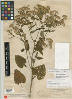 Isolectotype of Aster listriformis E. S. Burgess [family ASTERACEAE]