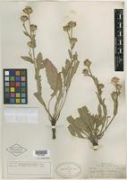 Isotype of Haplopappus hirsutus A. Gray [family ASTERACEAE]