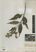 Isotype of Oyedaea buphthalmoides DC. [family ASTERACEAE]