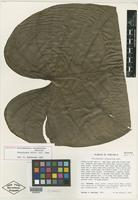 Holotype of Philodendron consobrinum G. S. Bunting [family ARACEAE]
