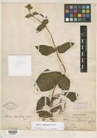 Holotype of Achimenes heppielloides Fritsch [family GESNERIACEAE]