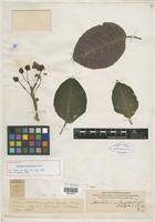 Holotype of Columnea latifolia Rusby [family GESNERIACEAE]