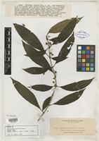 Isotype of Cyrtandra pallida Elmer [family GESNERIACEAE]