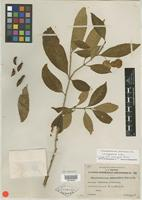 Isotype of Tabernaemontana capsicoides Merr. [family APOCYNACEAE]