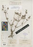 Isotype of Eriogonum arizonicum Gand. [family POLYGONACEAE]