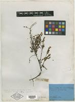 Syntype of Epacris reclinata A. Cunn. ex Benth. [family EPACRIDACEAE]