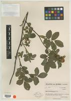 Isotype of Rosa rousseauiorum B. Boivin [family ROSACEAE]