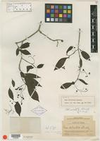 Isotype of Neea delicatula Standl. [family NYCTAGINACEAE]