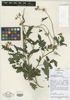 Isotype of Nasa triphylla subsp. flavipes N. Dostert & Weigend [family LOASACEAE]