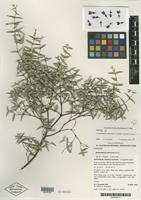 Isotype of Gastrolobium spinosum G. Chandler, Crisp & R. J. Bayer [family FABACEAE]