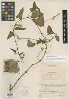 Isotype of Cissus sicyoides f. paraguayensis Chodat & Hassl. [family VITACEAE]