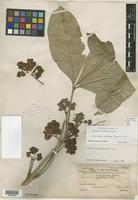 Lectotype of Euodia confusa Merr. [family RUTACEAE]