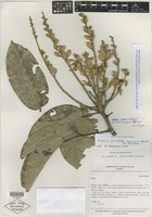 Holotype of Aldina speciosa M. Yu. Gontsch. & Yakovlev [family FABACEAE]