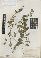 Type of Salvia tepicensis Fernald [family LAMIACEAE]