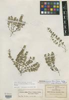 Isotype of Hedeoma nana var. mexicanum W. S. Stewart [family LAMIACEAE]