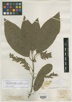 Isotype of Gomphostemma microdon Dunn [family LAMIACEAE]