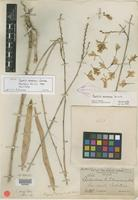 Holotype of Psychilis monensis Sauleda [family ORCHIDACEAE]