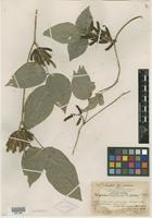 Type? of Glycine hainanensis Merr. & F. P. Metcalf [family FABACEAE]