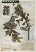 Holotype of Drimys winteri var. quinoensis [family WINTERACEAE]