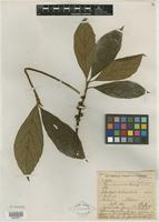 Type? of Ficus annamensis Gagnep. [family MORACEAE]