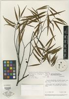 Isotype of Anaxagorea rheophytica Maas & Westra [family ANNONACEAE]