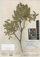 Isotype of Sophora chrysophylla var. lanaiensis Chock [family FABACEAE]