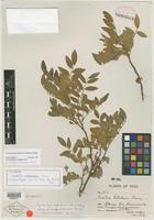 Isotype of Swartzia weberbaueri Harms [family FABACEAE]