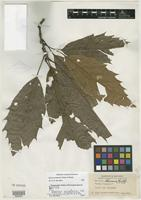 Isotype of Quercus salvadorensis Trel. [family FAGACEAE]