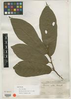 Type of Uvaria alba Merr. [family ANNONACEAE]