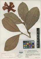 Holotype of Clusia cochlitheca Maguire [family CLUSIACEAE]