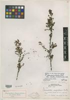 Isotype of Phyllanthus chamaecristoides var. similis G. L. Webster [family EUPHORBIACEAE]