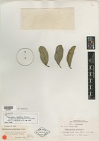 Holotype of Citharexylum crassifolium Greenm. [family VERBENACEAE]