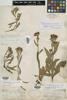 Syntype of Aster adscendens var. parryi D. C. Eaton [family ASTERACEAE]